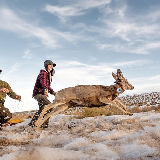 Biologists in Wyoming capture and collar mule deer in order to track the migration